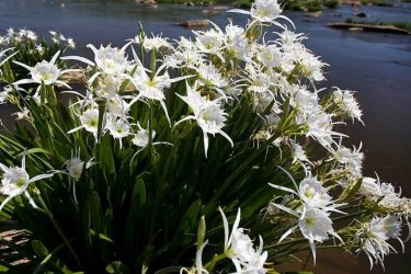 The Spider Lilies are Coming…